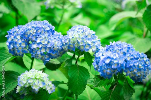 Fotobehang Hydrangea Blue Hydrangea flower in Japan