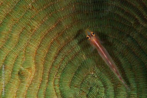 Photo  Coral goby, Bryaninops loki, on a hard coral Alor Indonesia
