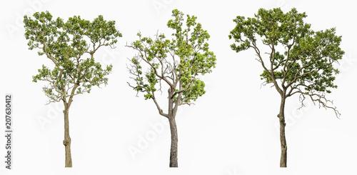 Fotografija  Big tree isolated on white background.