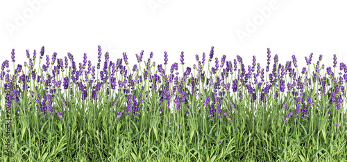 plakat Lavender flowers Fresh lavender plants isolated white background