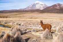 Lama In The Bolivian Altiplano