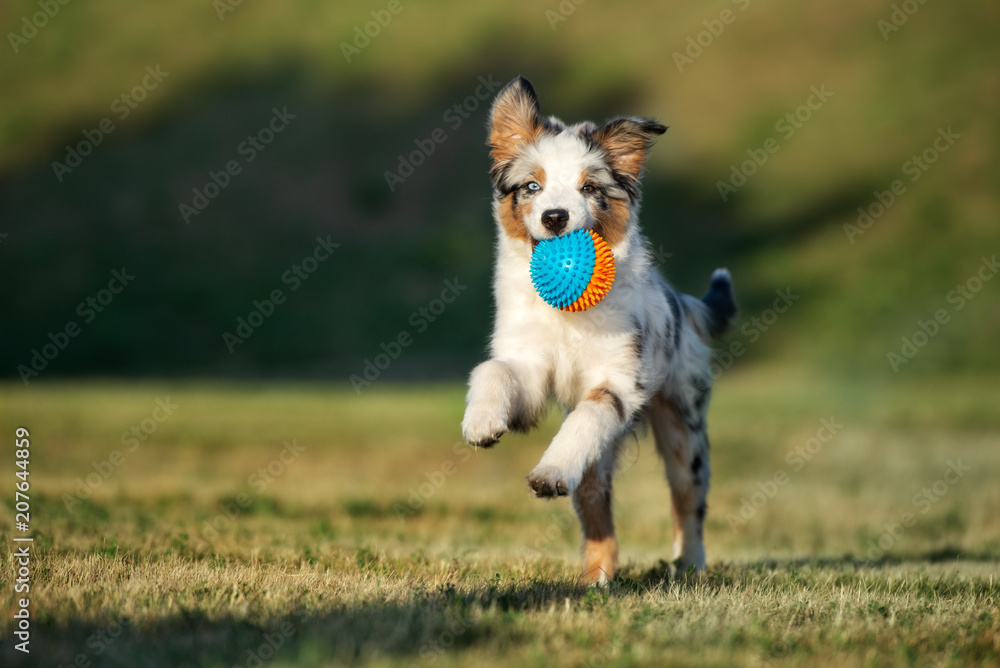 Fototapety, obrazy: happy puppy running outdoors with a ball
