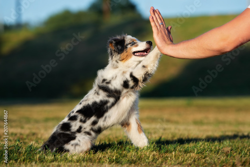 adorable puppy gives paw to owner outdoors