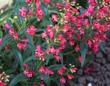close up of Scarlet bugler flower, Beardlip penstemon