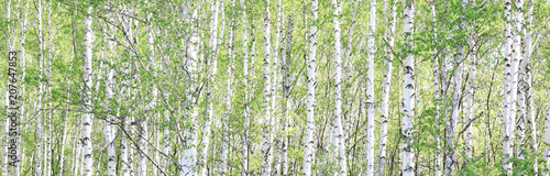Fotobehang Bomen Beautiful birch trees with white birch bark in birch grove with green birch leaves in summer