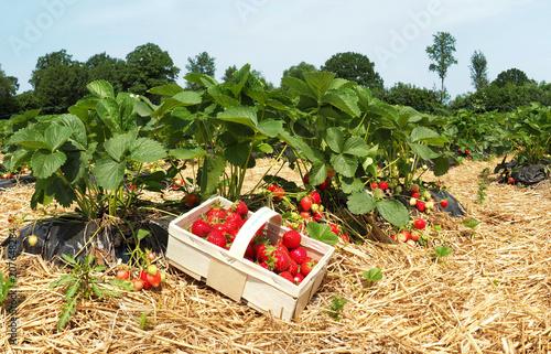 Erdbeerfeld mit Korb - Erdbeeren selber pflücken