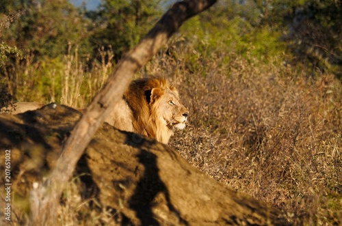 Fotobehang Leeuw South African male lion