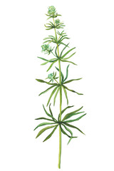 Plakat Branch with flowers of wild plant Galium aparine (also called catchweed, clivers, goose-grass, stickyweed, grip grass). Watercolor hand drawn painting illustration isolated on a white background.