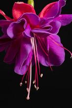 Single Flower Of Fuchsia Isolated On Black Background, Close Up.