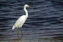 Snowy Egret On River Of A Deep Blue