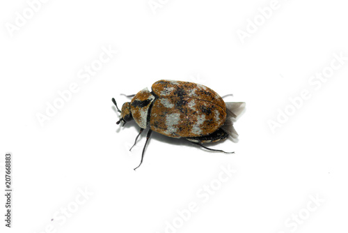 Carpet Beetle perspective over white