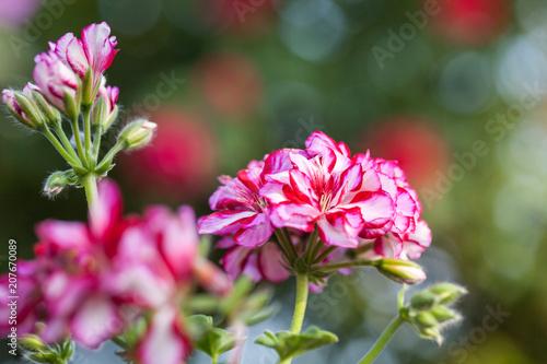 Rosarot gestreifte Blütenköpfe einer Geranie mit wunderschönem Bokeh, Makro