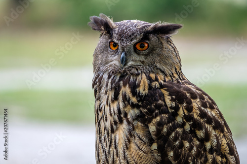 Door stickers Owl Portrait of an Eurasian Eagle Owl