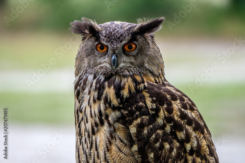Poster Owl Portrait of an Eurasian Eagle Owl