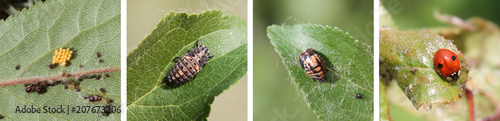 Stages of development of Two-spot ladybird or Adalia bipunctata from egg to adult insect