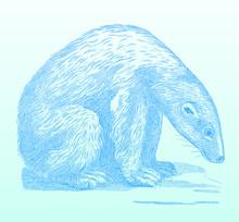 Sitting Polar Bear (ursus Mari...