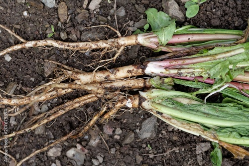 Fotografie, Obraz  Fresh roots of dandelion (Taraxacum officinale) with dirt and on garden soil