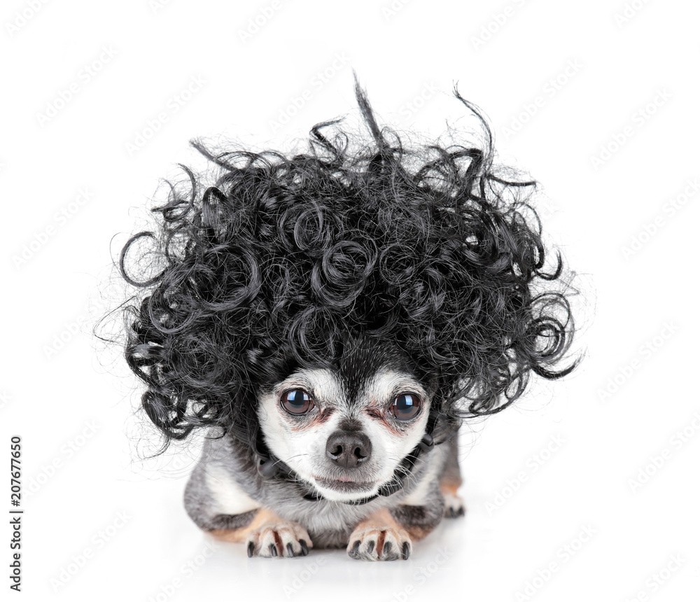 Fototapeta cute chihuahua with a curly wig on
