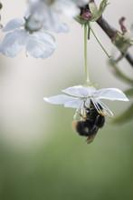 Bumblebee On Cherry Blossom