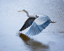 Beautiful Great Blue Heron Taking Off From A Pond
