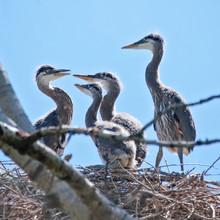 Great Blue Heron Babies In A N...