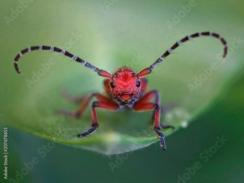 Obraz na płótnie red milkweed longhorn beetle on a leaf