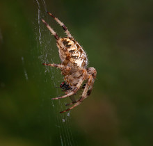 Orb Spider On Its Web With A House Fly