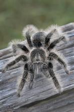Large Curly Hair Tarantula (Br...
