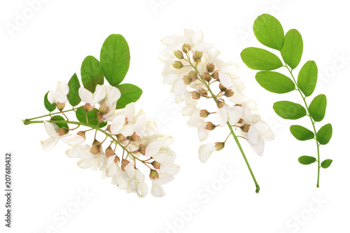 Photo Blossoming acacia with leafs isolated on white background, Acacia flowers, Robinia pseudoacacia