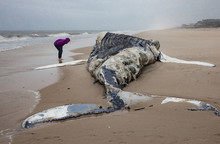 Dead Female Humpback Whale At ...
