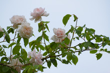"""Light Pink Flowers Of The Rambling Or Climbing Rose """"Madame Alfred Carriére"""" Against The Blue Sky, Old Noisette Rose Bred By Schwartz 1875"""