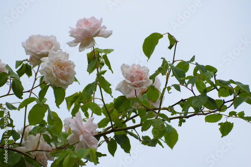 "Photo  light pink flowers of the rambling or climbing rose ""Madame Alfred Carriére"" aga"