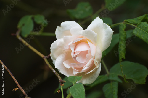 "Photo  soft pink flower of the rambling or climbing rose ""Madame Alfred Carriére"", an o"