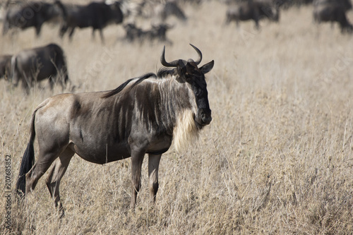 Photo  White bearded Wildebeest which stands in a dry shroud on the background of a run