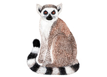 Lemur On White Background. Watercolor Illustration. Lemur In Sitting Position Painted With Watercolors. Element For Design.