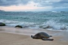 An Endangered Hawaiian Green S...