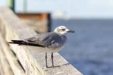 Laughing Gull On A Wooden Rail