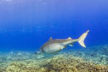 Tiger Shark Swimming Away