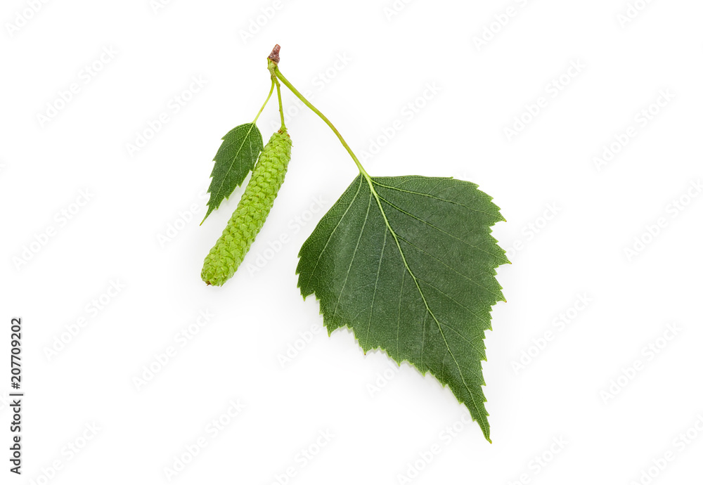 Birch leaves and catkin closeup on a white background