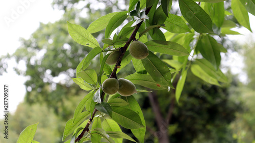 Apricot fruit that begins to open anew in early summer. Wallpaper Mural