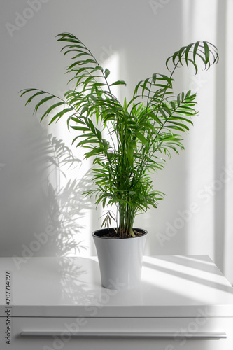 plant Areca in a white pot on a table against a white wall background Canvas Print