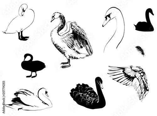 Fototapeta premium swans sketch