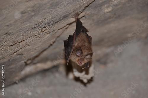 0065 petit rhinolophe pendu par une patte