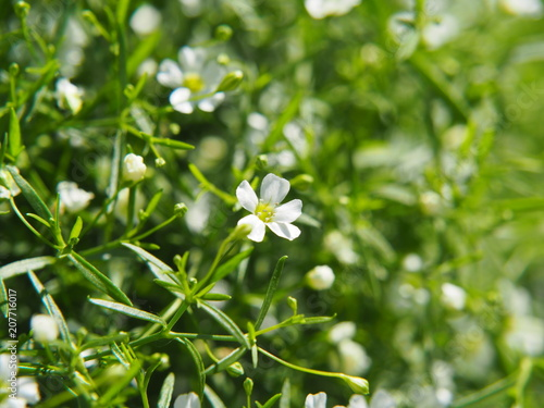 White blooming Gypsophila - baby's breath Poster