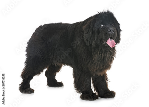 Obraz na plátně newfoundland dog in studio