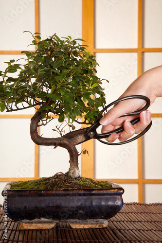 In de dag Bonsai Pruning a bonsai tree