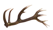 Deer Shed Antler Isolated On W...