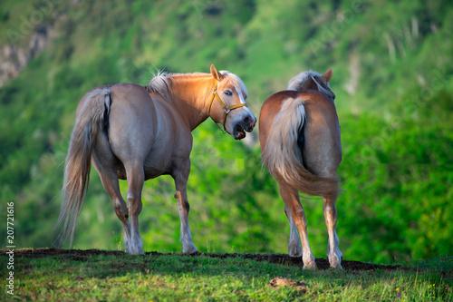 Fotografie, Obraz  Horse and mare illuminated by the last sun on the Italian Alps