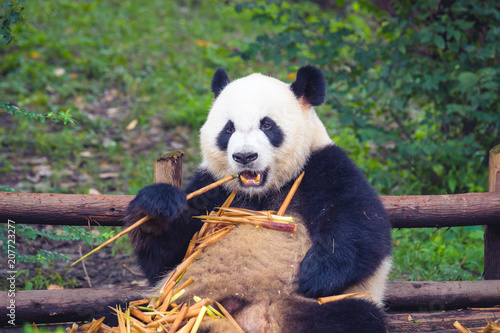 Poster Panda Giant Panda eating bamboo lying down on wood in Chengdu during day , Sichuan Province, China