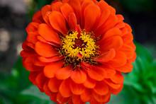 Garden Flower Zinnia Red Color Close-up.